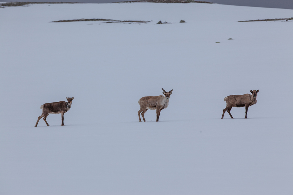 Rendeer in Sarek in spring.