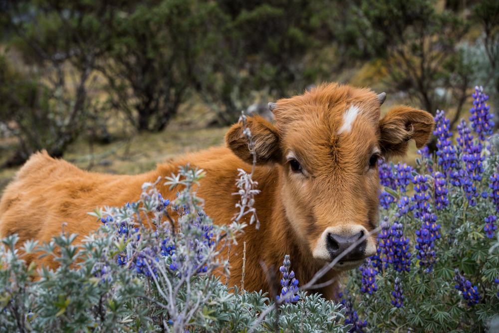 Cow inside blue flowers
