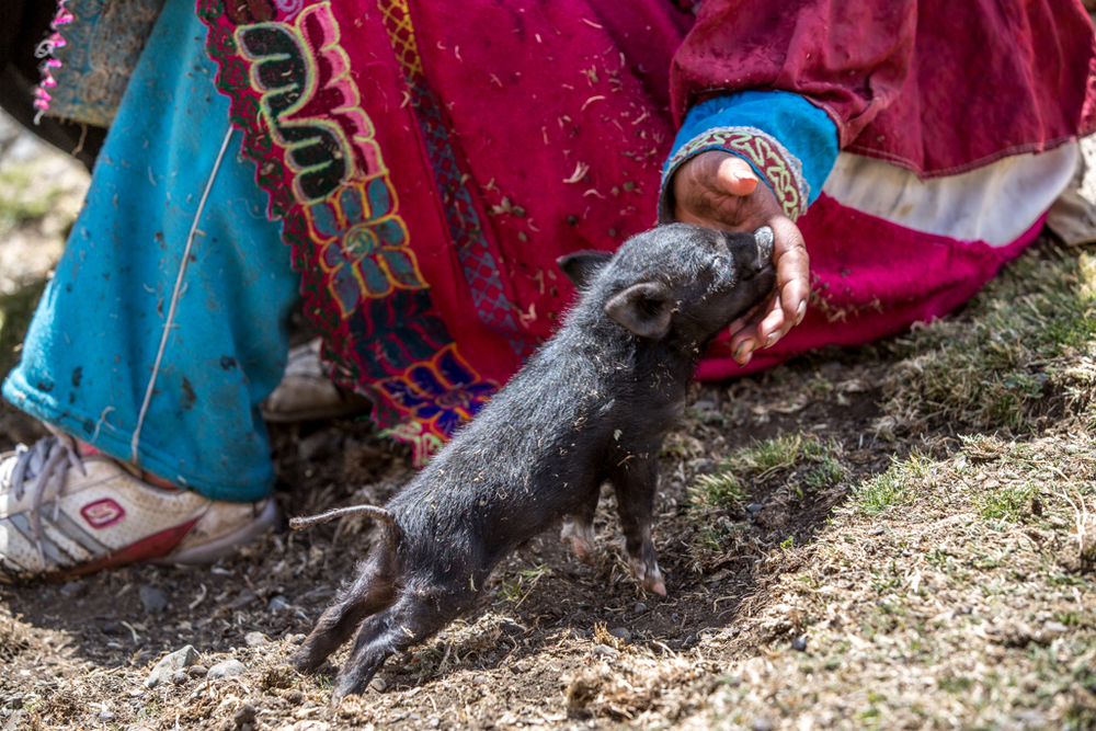 Newborn pig