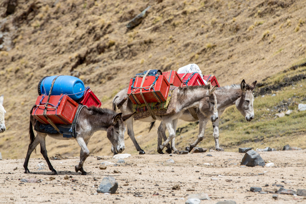 The hard life of donkeys