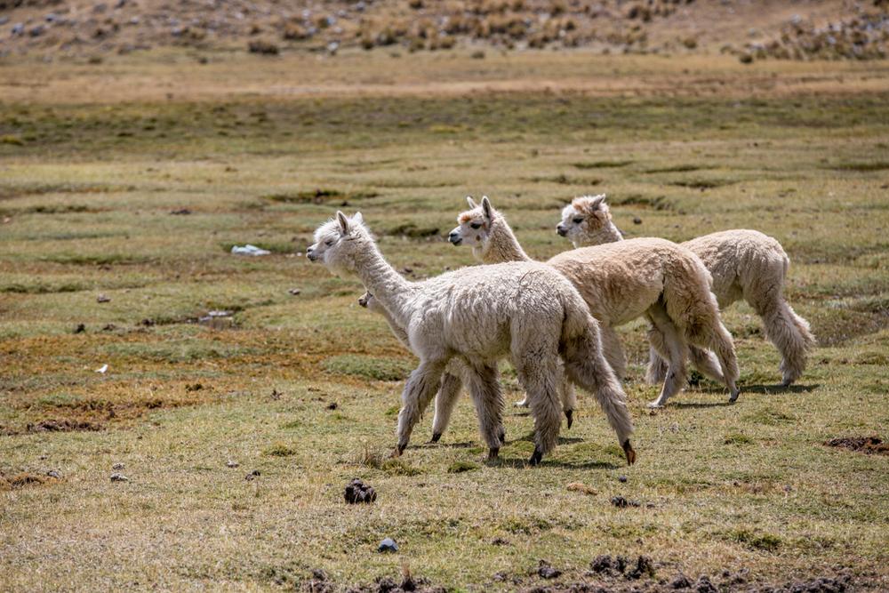 Lamas in Peru