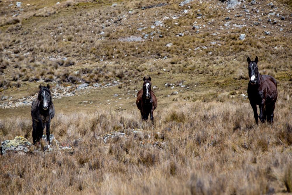 Horses in Peru