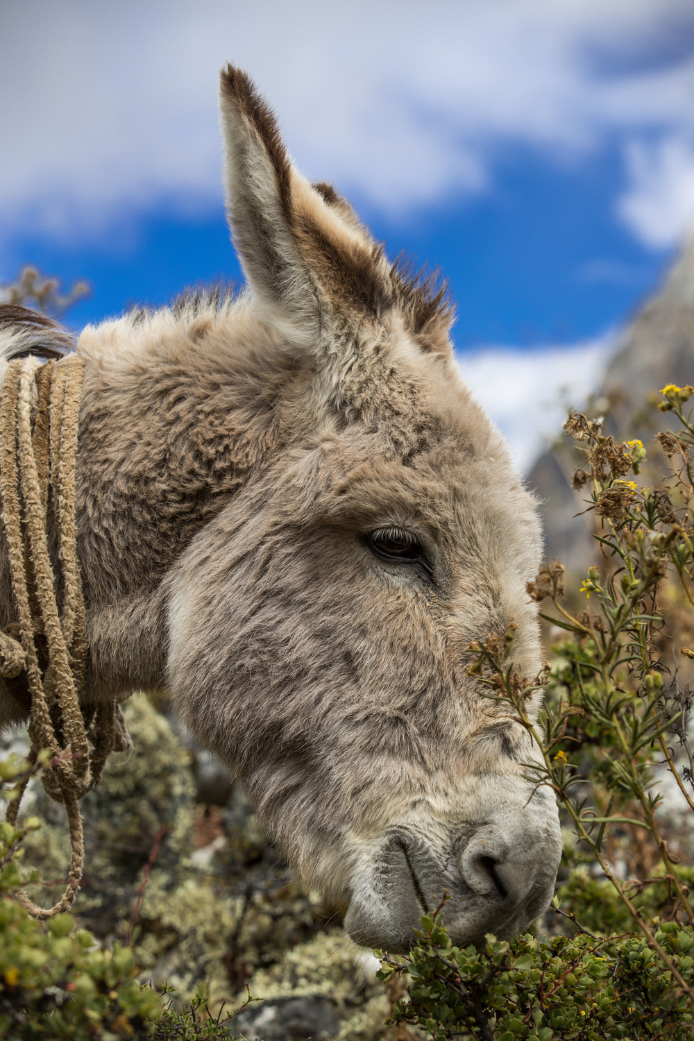 Donkey in Peru eating grass