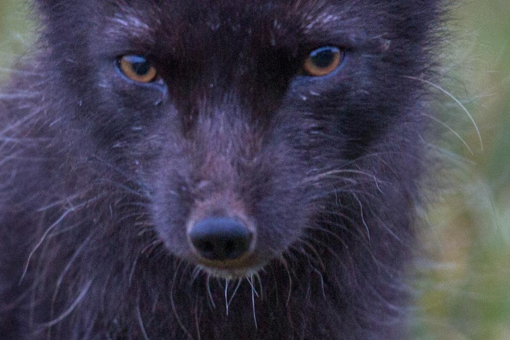Close-up: Face of Arctic fox