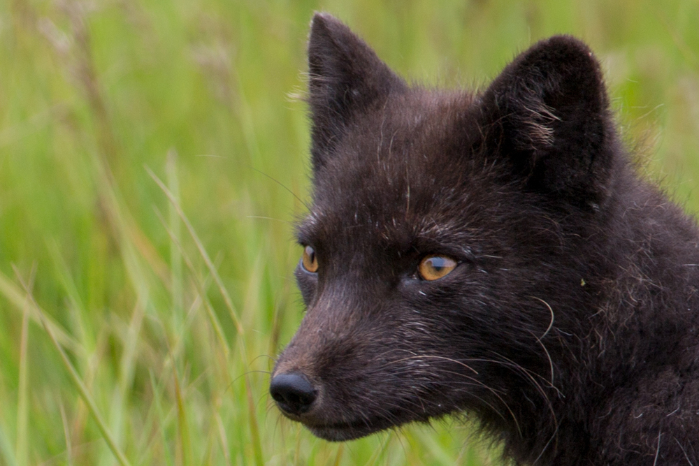 Close-up: Arctic fox