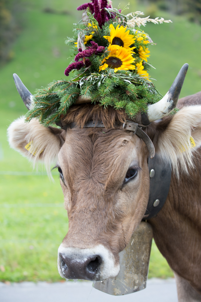 Decorated cow in Switzerland
