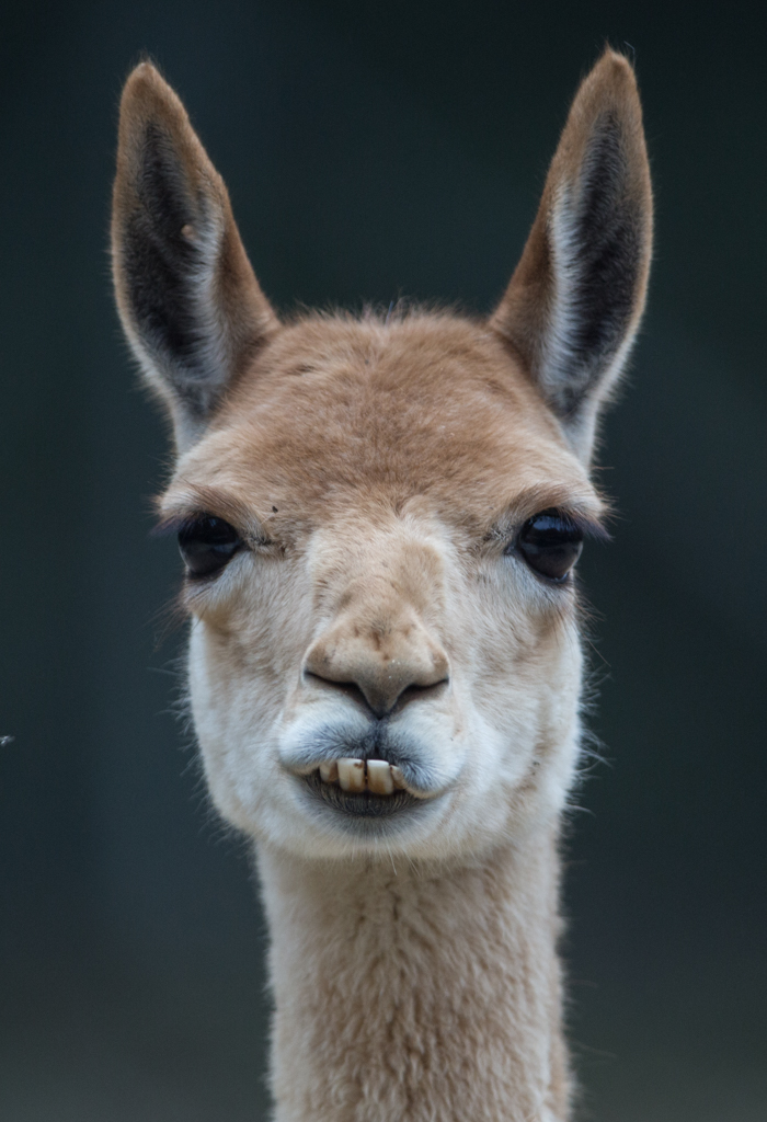 Head of an Guanaco