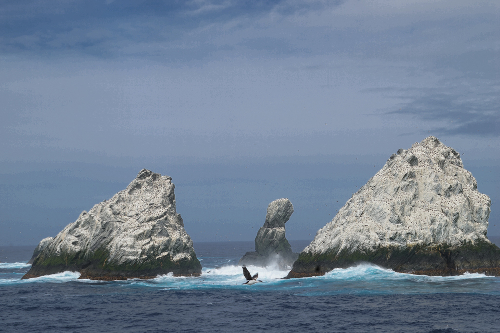 Flying bird inbetween Shag Rocks