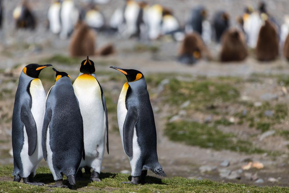 Circle of King Penguins