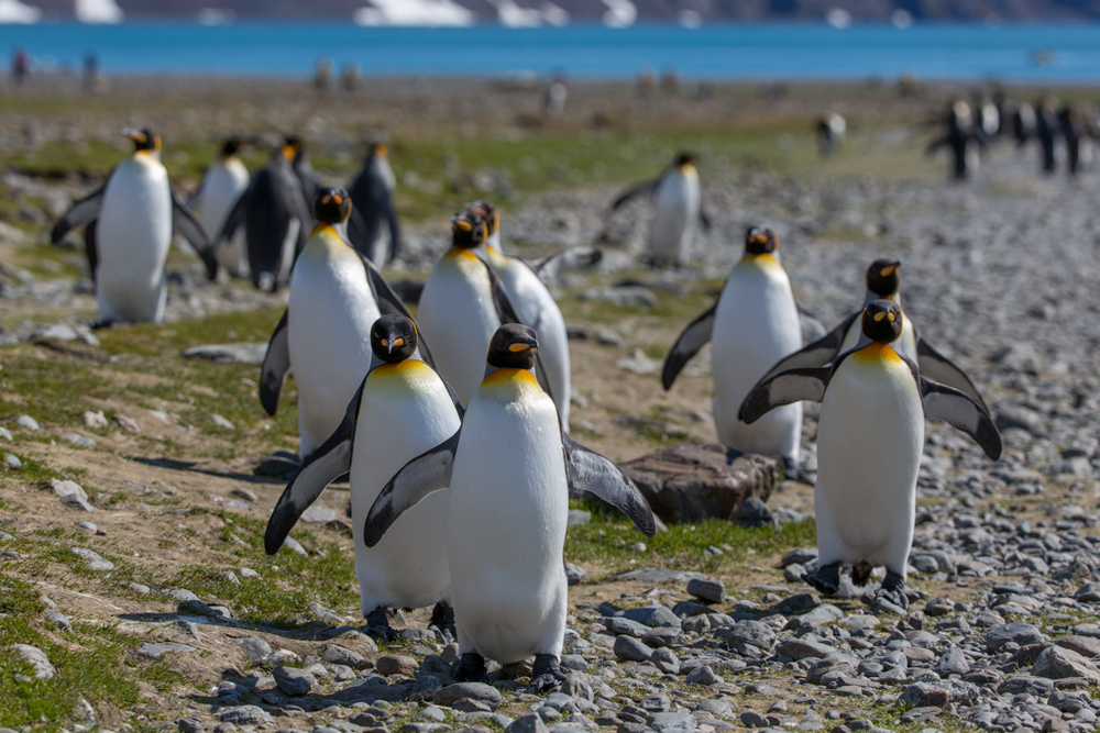 King Penguins coming from the sea
