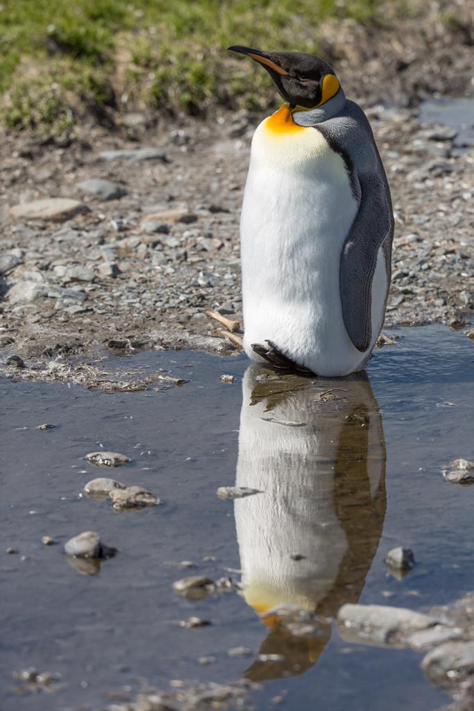 Mirroring King Penguin