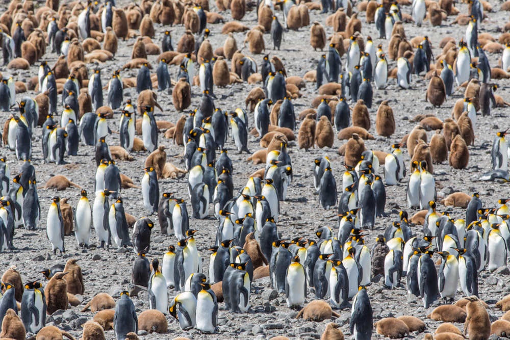 Adult and young King Penguins