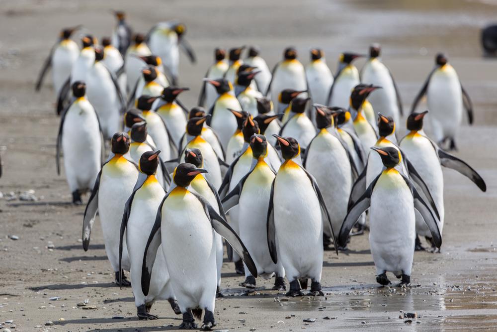 King Penguin formation