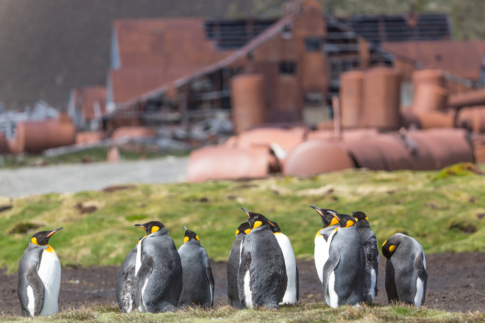 King Penguins near old whaling village