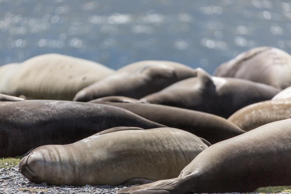 Sunbathing pack of seals.