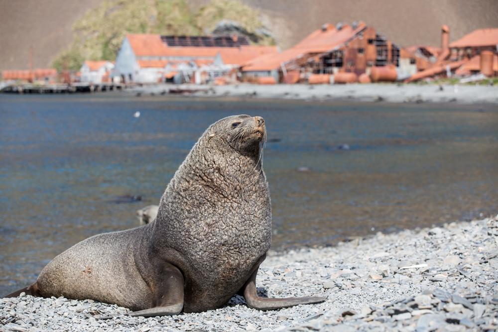 Seal on Stromness beach