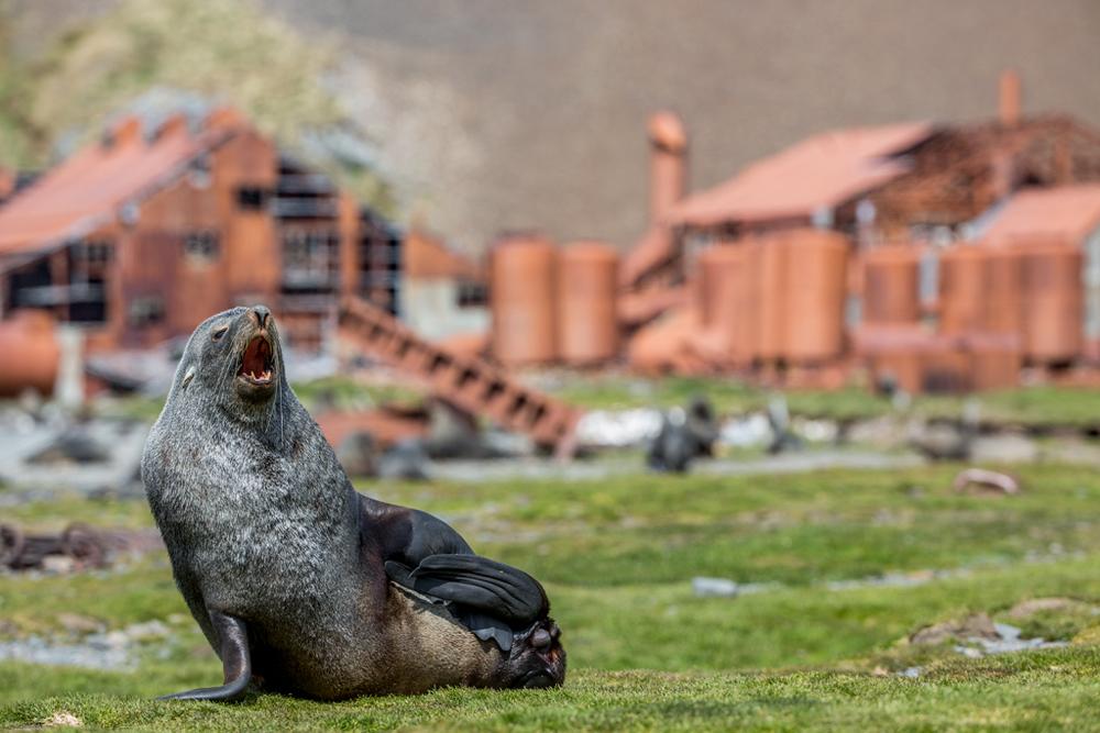Sunbathing seal in the grass