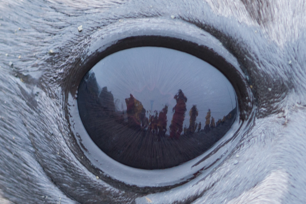 The eye of a seal