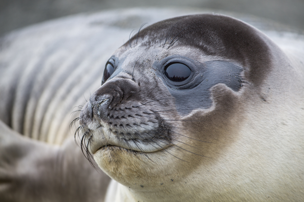 Colorful head of a younger seal