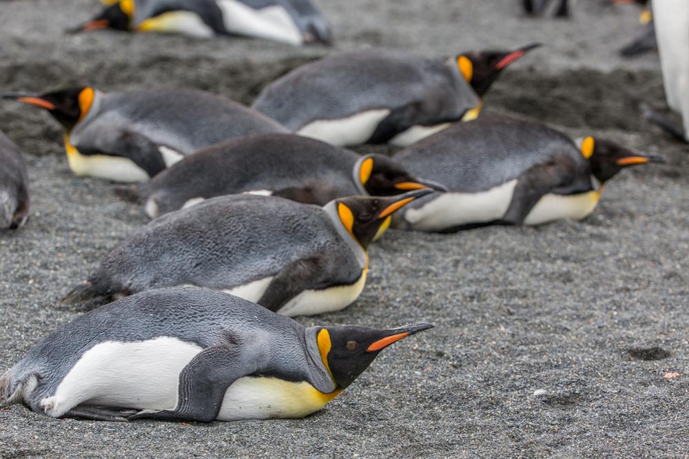 King Penguins lying on the beach