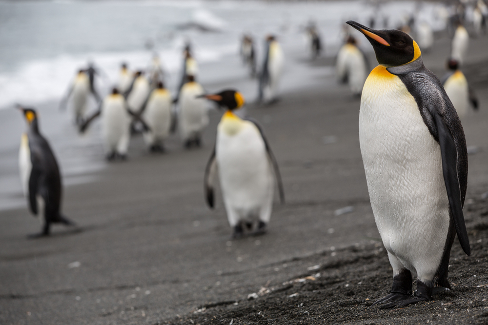 Formations of King Penguins