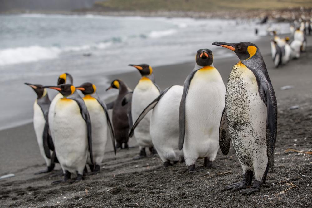 Dirty King Penguin