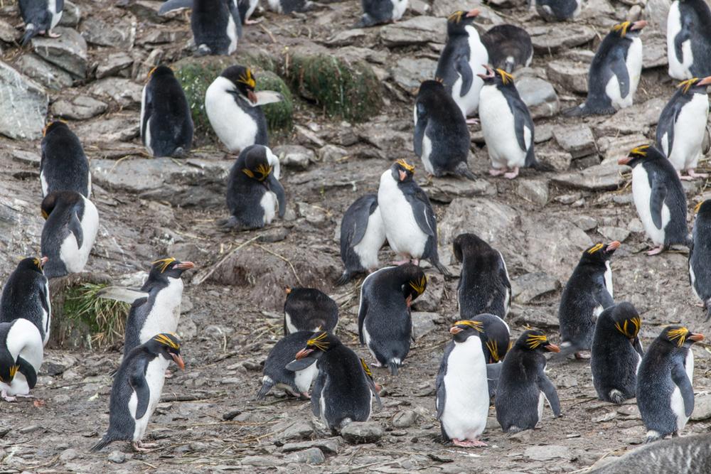 Rockhopper Penguins in the Falklands Islands