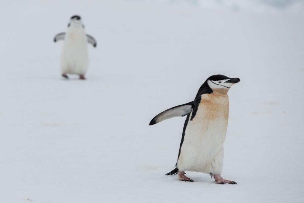 Chinstrap Penguins in Antarctica
