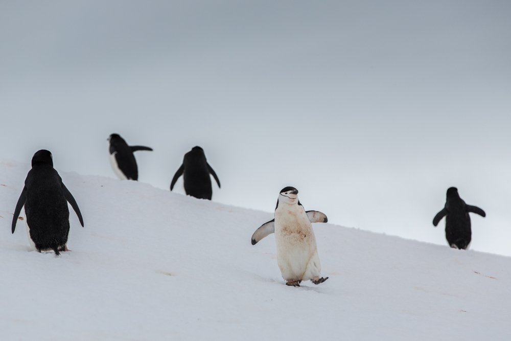 Formations of Chinstrap Penguins