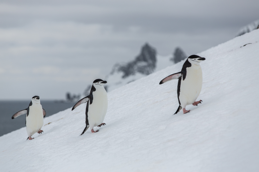 Chinstrap Penguins on the way to their nest