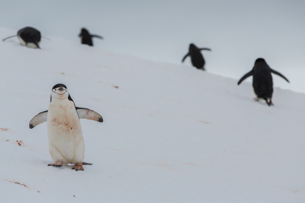 Chinstrap Penguin inspecting the photographer