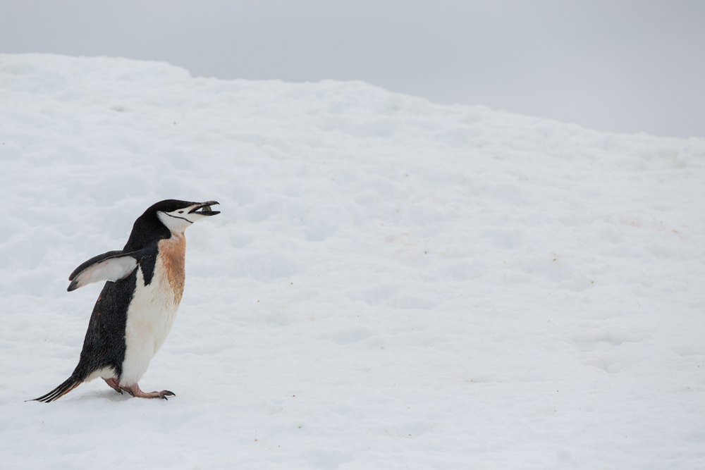 Chinstrap Penguin with a stone