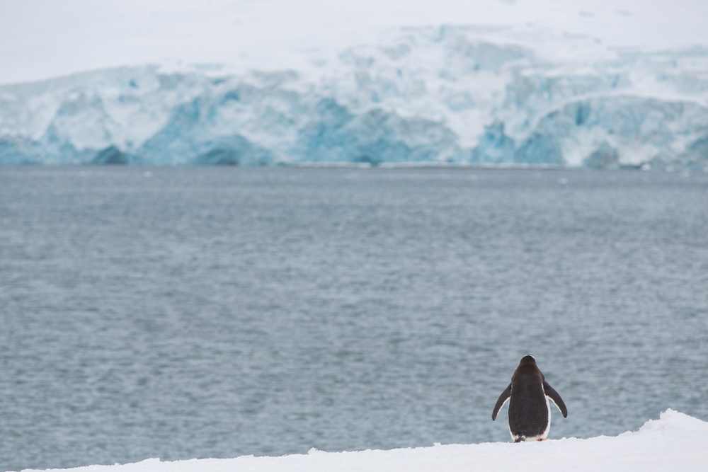 Lonely Chinstrap Penguin