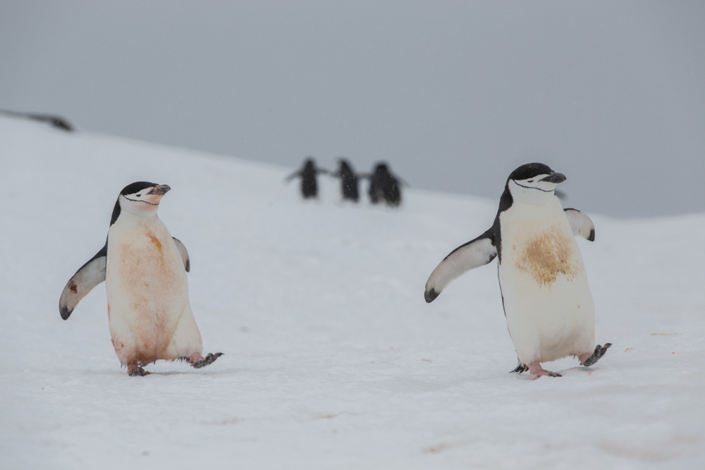 Two dirty Chinstrap Penguins