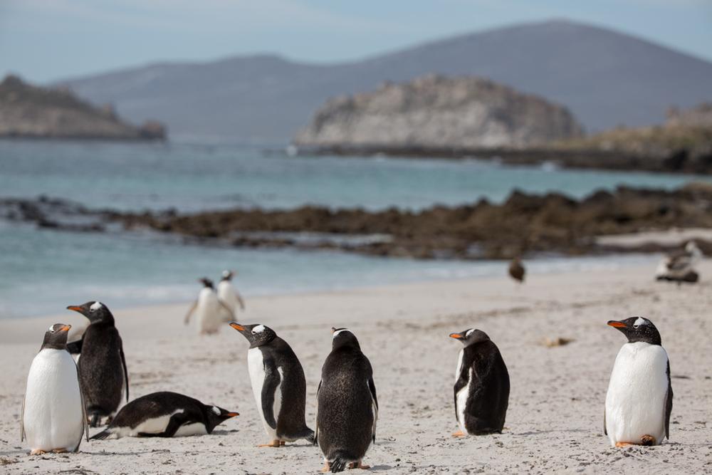 Gentoo Penguins on the Falklands Islands