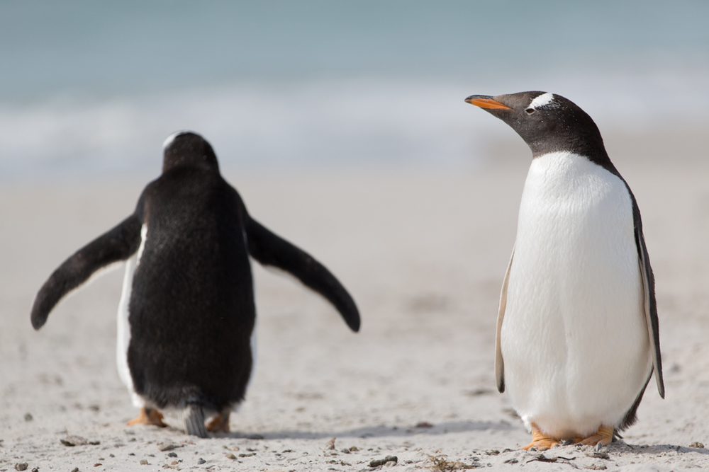 2 Gentoo Penguins on the beach