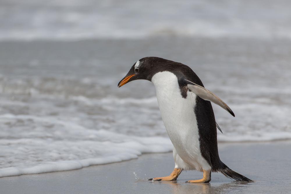Gentoo Penguin entering the water