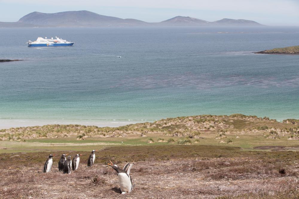 Gentoo Penguins on a little hill