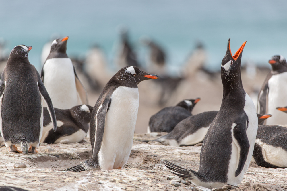 Gentoos on the Falkland Islands