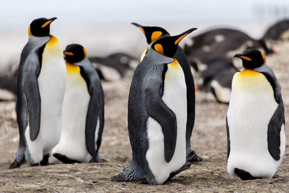 King Penguins on the Falkland Islands