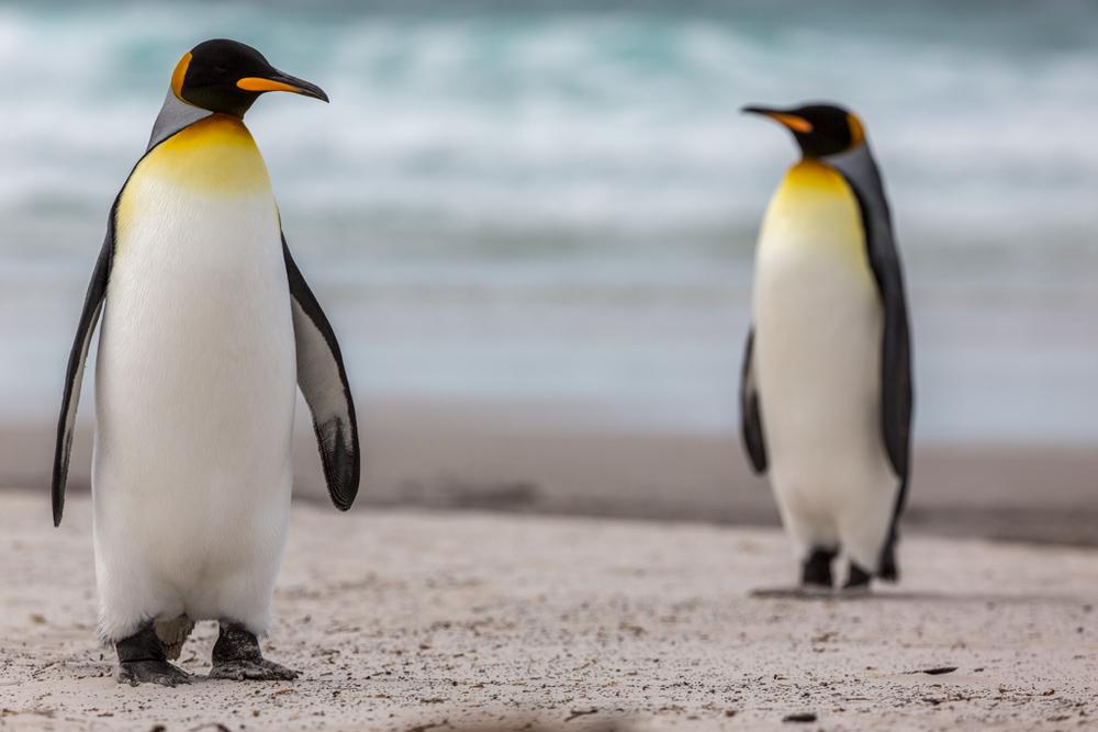 2 King Penguins on a beach