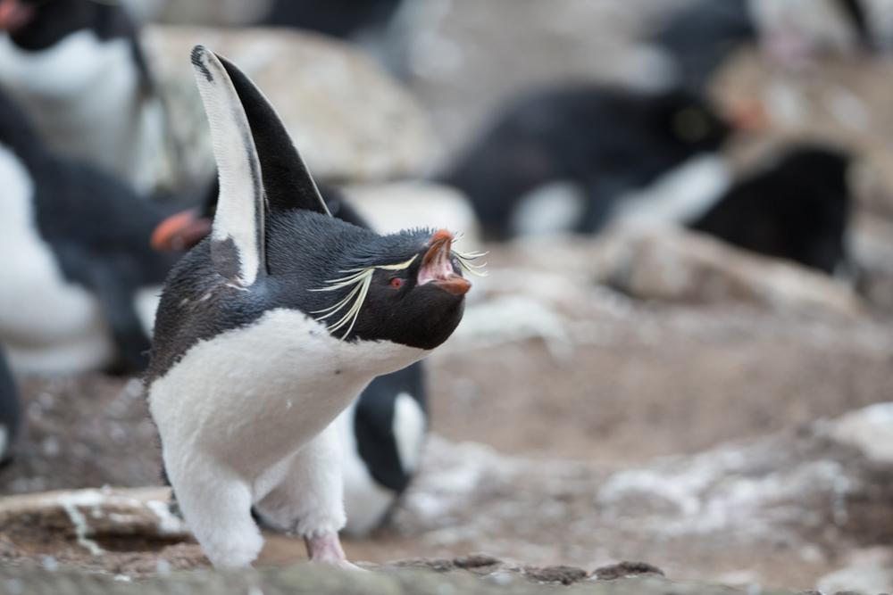 Screaming Rockhopper Penguin