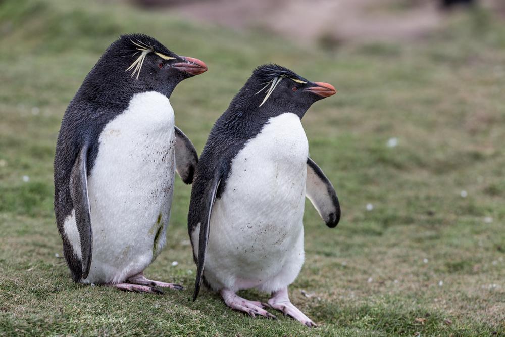 2 cute Rockhopper penguins