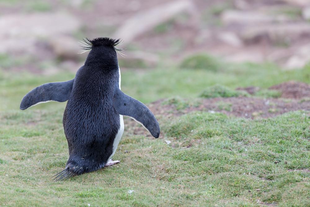 Rockhopper Penguin from behind