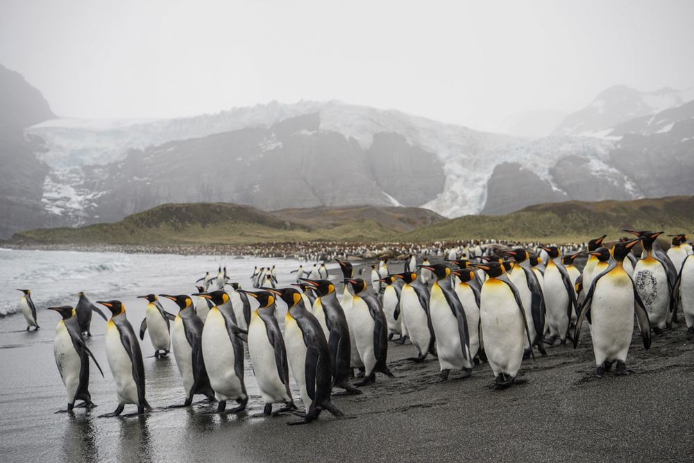 Large group of King Penguins