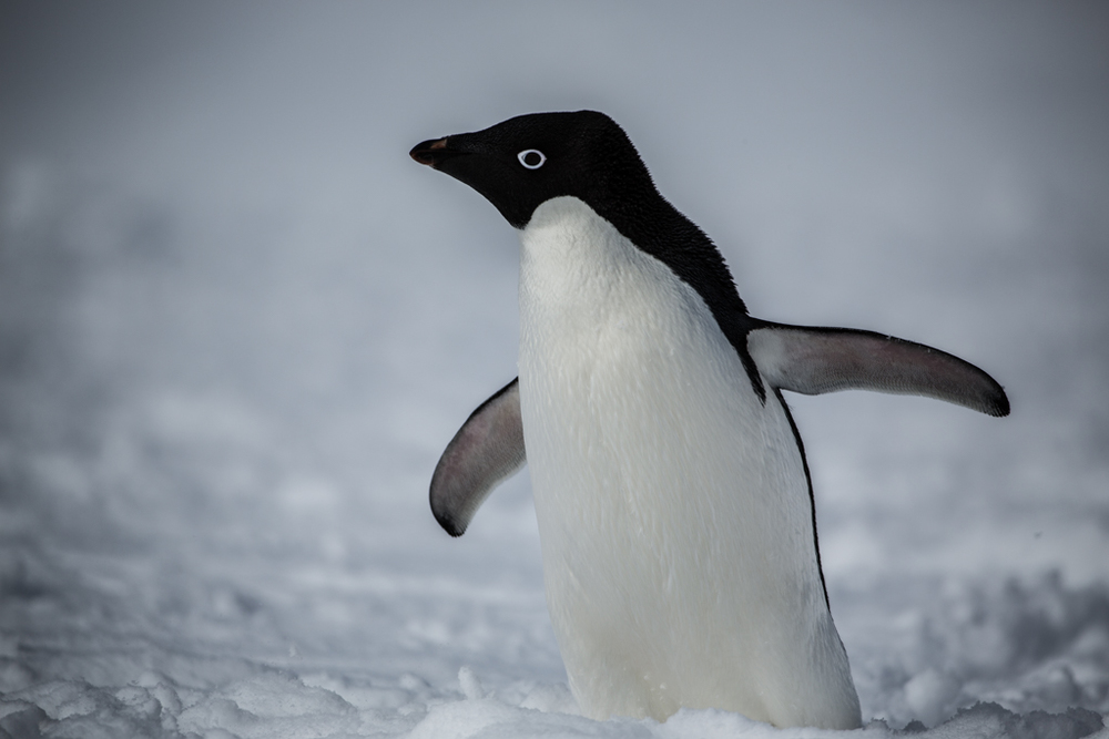 Close-up of an Adelie Penguin