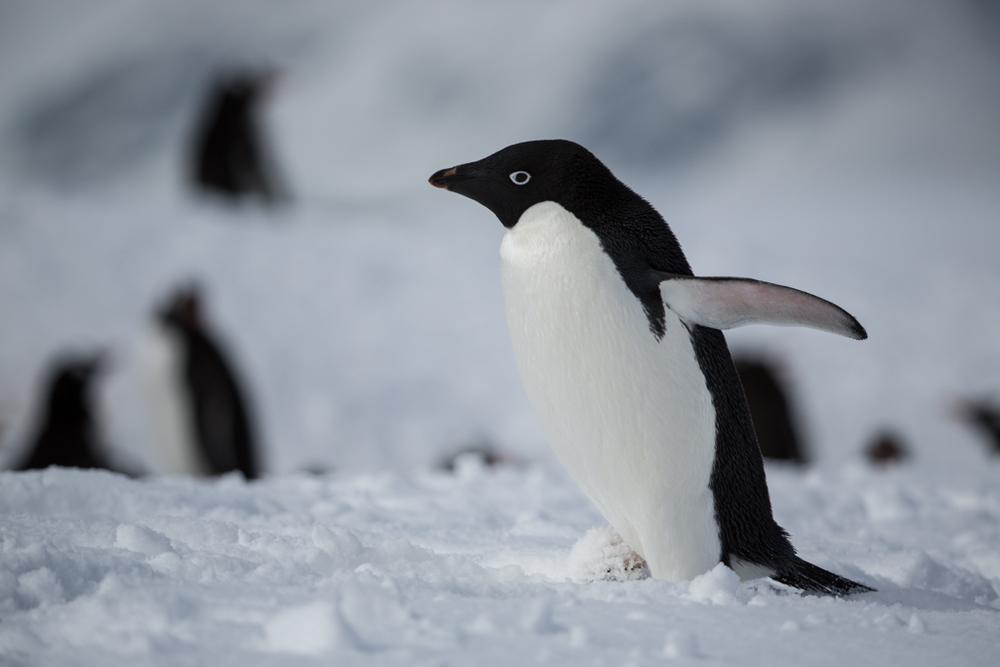 Adelie Penguins in the Antarctic peninsula