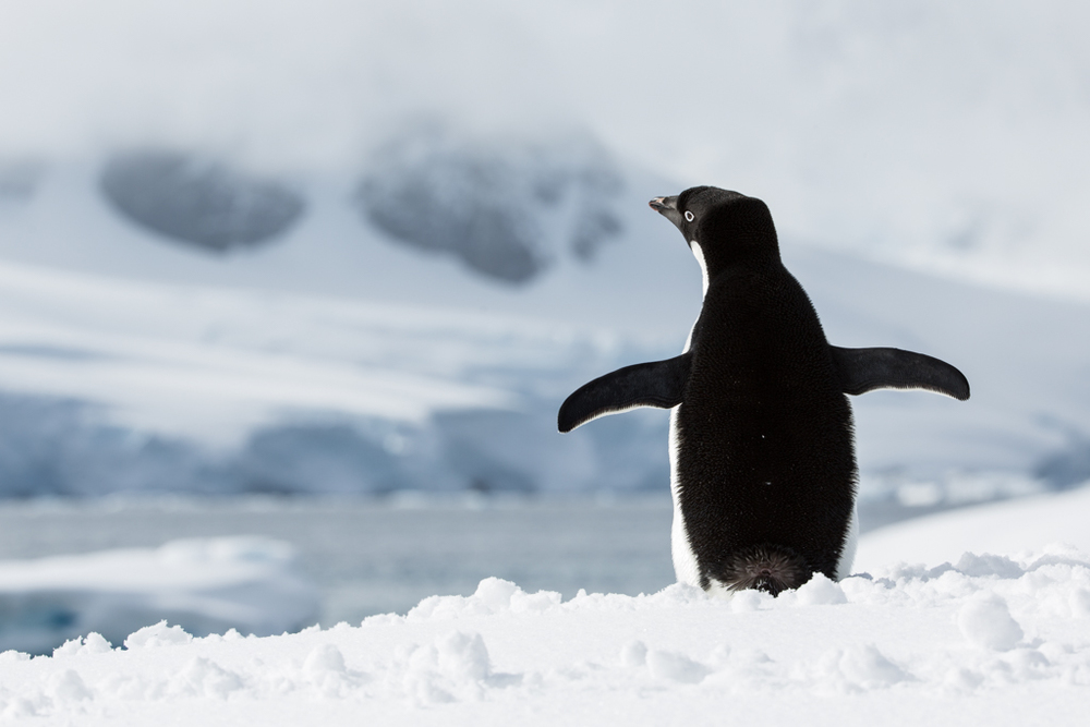 Adelie Penguin from behind