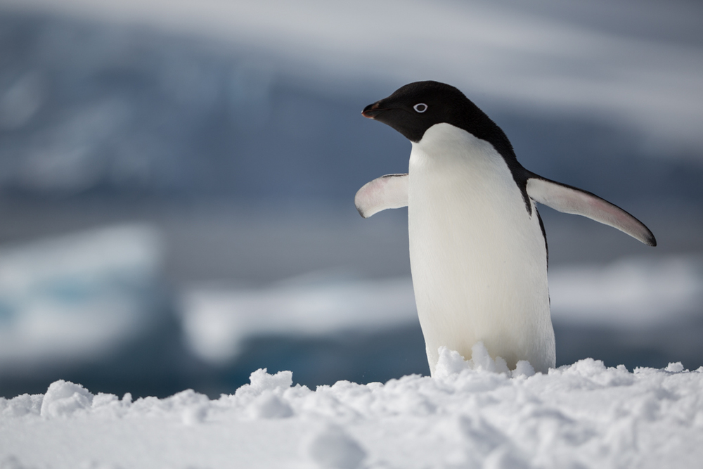 Adelie Penguin with glacier