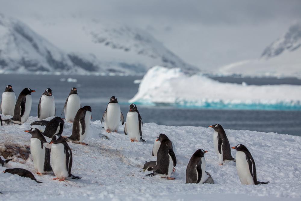 Colony of Gentoo Penguins